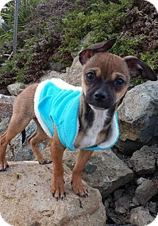 Chihuahua Puppy for adoption in Santa Monica, California - JOHNNY