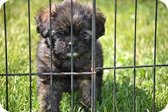 Shih Tzu/Chihuahua Mix Puppy for adoption in Richmond, Virginia - Hans Solo