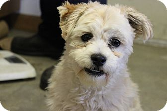 Shih Tzu/Miniature Poodle Mix Puppy for adoption in Waterbury, Connecticut - Chancy