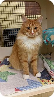 Domestic Longhair Cat for adoption in Livonia, Michigan - Peanut