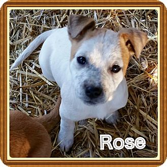 Blue Heeler/Cattle Dog Mix Puppy for adoption in Haggerstown, Maryland - Rose