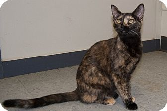 Domestic Shorthair Cat for adoption in Martinsville, Indiana - Nutmeg