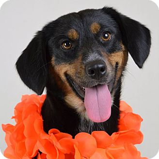 Shepherd (Unknown Type) Mix Dog for adoption in Jackson, Mississippi - Darcy