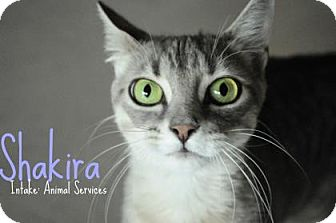 Domestic Shorthair Cat for adoption in Hamilton, Ontario - Shakira