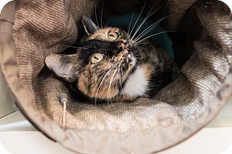 Domestic Shorthair Cat for adoption in Houston, Texas - Luka