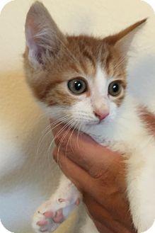 Domestic Shorthair Kitten for adoption in Meridian, Idaho - Skippy