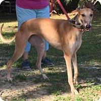 Adopt A Pet :: Adi - West Palm Beach, FL