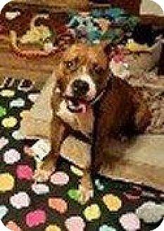 Pit Bull Terrier/Boxer Mix Dog for adoption in Hampton, Virginia - BELLE