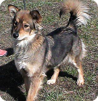 Sheltie, Shetland Sheepdog/Papillon Mix Dog for adoption in Maynardville, Tennessee - Vicki