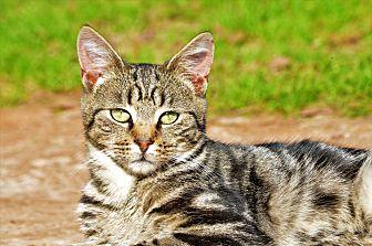 Domestic Shorthair Cat for adoption in Washington, Georgia - Kevin