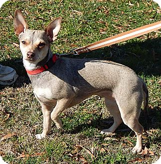 Chihuahua Dog for adoption in West Sand Lake, New York - Marleigh (10 lb) Happy Girl!