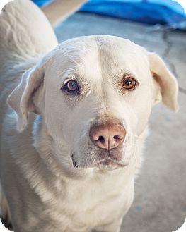 Labrador Retriever Mix Dog for adoption in St Helena, California - Bella