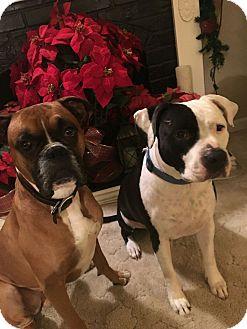 Boxer Dog for adoption in Sacramento, California - Samson, I am a great boy!