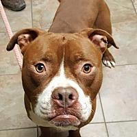 Adopt A Pet :: Red Rum - Cincinnati, OH