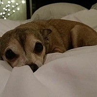 Chihuahua Dog for adoption in Westport, Connecticut - Karma