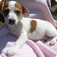 Adopt A Pet :: Cobey - Manning, SC