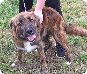 Shepherd (Unknown Type) Mix Dog for adoption in Sturbridge, Massachusetts - Stevie