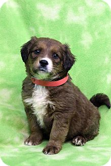 Shepherd (Unknown Type) Mix Puppy for adoption in Westminster, Colorado - MICHAELA