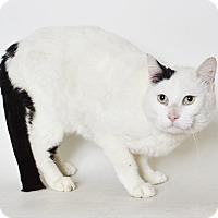 Domestic Shorthair Cat for adoption in Fruit Heights, Utah - Patrick