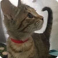 Domestic Shorthair Kitten for adoption in Lloydminster, Alberta - Nelly
