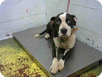 American Pit Bull Terrier Dog for adoption in Atlanta, Georgia - TUCKER