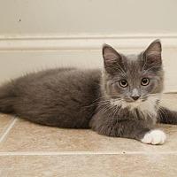 Adopt A Pet :: Ricki (kitten) - Ashland, MA