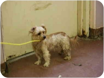 Terrier (Unknown Type, Small) Mix Dog for adoption in Hannibal, Missouri - Lisa