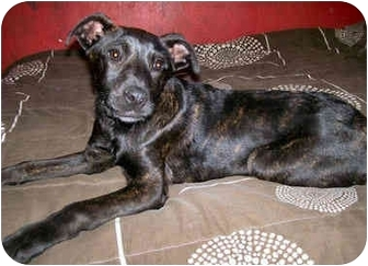 Plott Hound/Labrador Retriever Mix Puppy for adoption in Latrobe, Pennsylvania - Runa