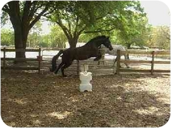 Quarterhorse/Percheron Mix for adoption in Tampa, Florida - Star