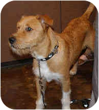 Terrier (Unknown Type, Medium) Mix Dog for adoption in Houston, Texas - Captain
