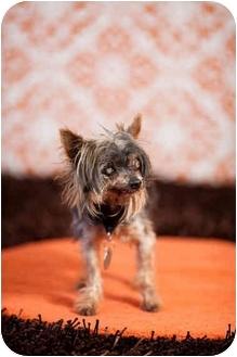 Yorkie, Yorkshire Terrier Dog for adoption in Portland, Oregon - Newt