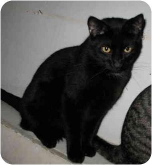 Domestic Shorthair Cat for adoption in Cincinnati, Ohio - Purr-cy