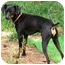 Photo 1 - Miniature Pinscher Dog for adoption in Pelzer, South Carolina - Batman