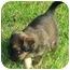 Photo 2 - Labrador Retriever/Border Collie Mix Puppy for adoption in Portsmouth, Rhode Island - Sadie Girl