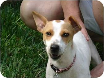 Jack Russell Terrier Dog for adoption in Dallas/Ft. Worth, Texas - Maisey in Houston