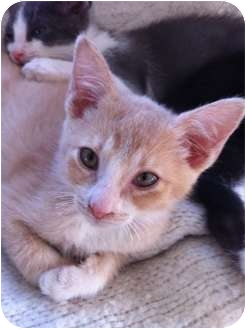 Domestic Shorthair Kitten for adoption in Burbank, California - Porsche - LOVING kitten!!!!