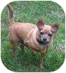 Chihuahua Mix Dog for adoption in Salem, Oregon - Harley
