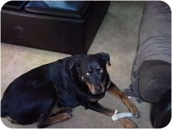 Rottweiler Dog for adoption in Nuevo, California - Paw