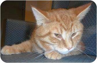 Domestic Shorthair Cat for adoption in Jackson, Michigan - Milo