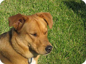 Golden Retriever/Basset Hound Mix Dog for adoption in Cincinnati, Ohio - Buster