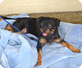 Terrier (Unknown Type, Small) Mix Dog for adoption in Linden, New Jersey - Simon