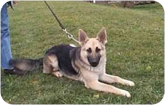 German Shepherd Dog Dog for adoption in Silver Spring, Maryland - Preston