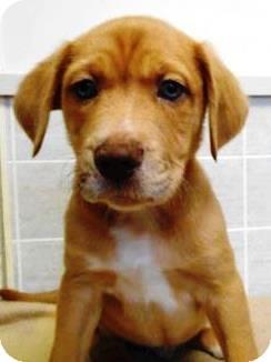 Australian Shepherd/Labrador Retriever Mix Puppy for adoption in Bartonsville, Pennsylvania - Marco