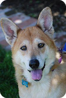 Shepherd (Unknown Type)/Shiba Inu Mix Dog for adoption in Marina del Rey, California - Tilly