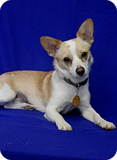 Chihuahua/Terrier (Unknown Type, Small) Mix Dog for adoption in Wichita, Kansas - Lexi