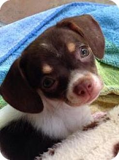 Chihuahua/Beagle Mix Puppy for adoption in Gainesville, Florida - Apple