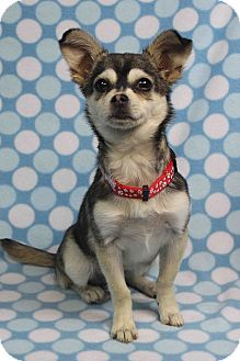 Chihuahua Mix Puppy for adoption in Westminster, Colorado - Emmanuela