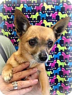 Chihuahua Mix Dog for adoption in Yuba City, California - Angel