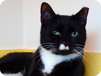 Domestic Shorthair Cat for adoption in Brimfield, Massachusetts - Charlize