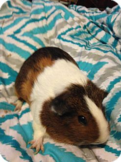 Guinea Pig for adoption in Mount Perry, Ohio - Abby